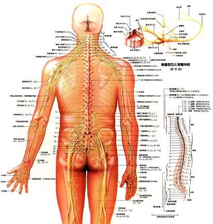 背骨と神経の相関図